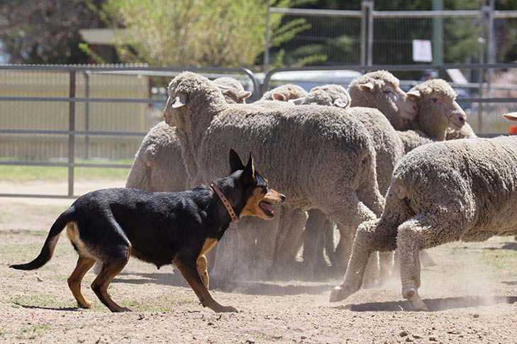 Working Kelpie in action herding sheep in a pen.