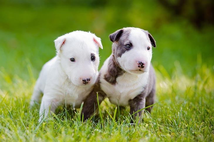 Bull Terrier Puppies For Sale Akc Puppyfinder