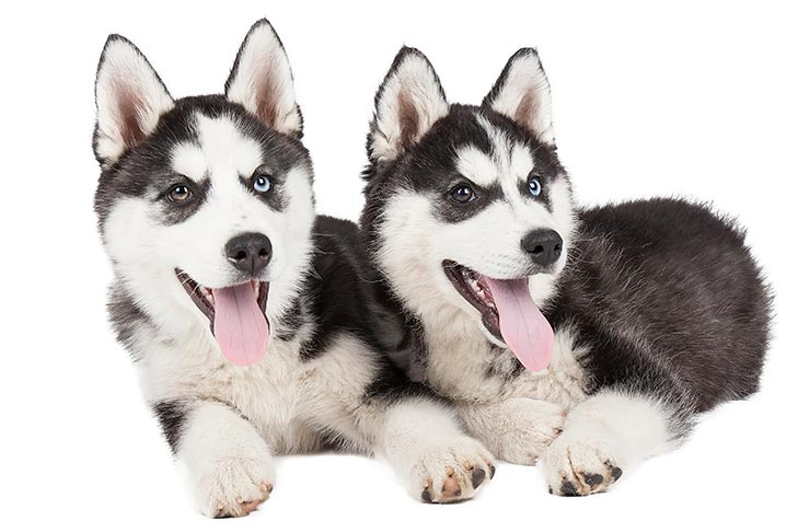 Siberian Husky Dog Breed Information If there is an icon you suggest, feel free to note it. siberian husky dog breed information