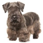 Cesky Terrier standing in three-quarter view