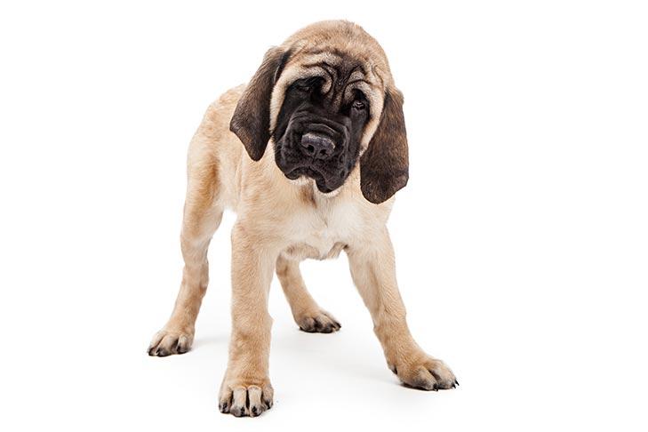 Mastiff Dog Breed Information
