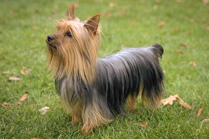 Silky Terrier standing in the grass.