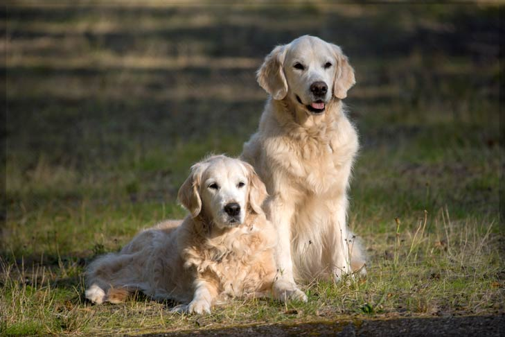 Golden Retriever two dogs