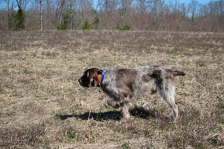 Spinone Italiano on point in a field.