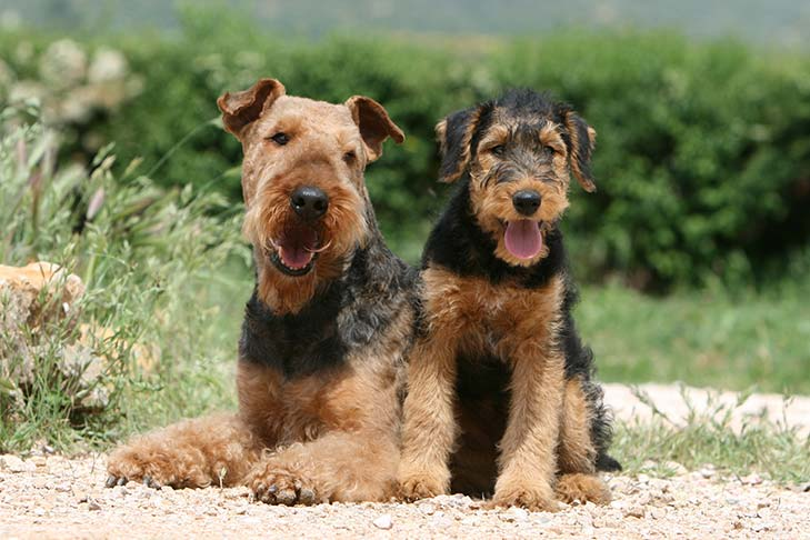 Airedale Terrier mother and puppy