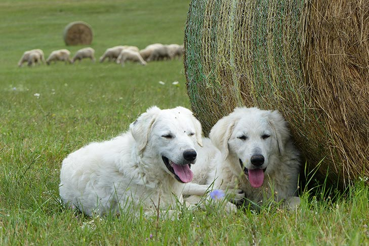 Kuvaszok laying down in a field with sheep nearby.