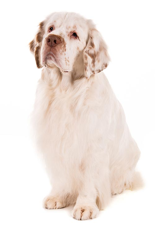 Clumber Spaniel sitting on a white background.