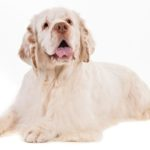 Clumber Spaniel lying on a white background.