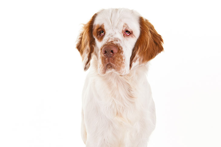 Clumber Spaniel head and shoulders facing forward.