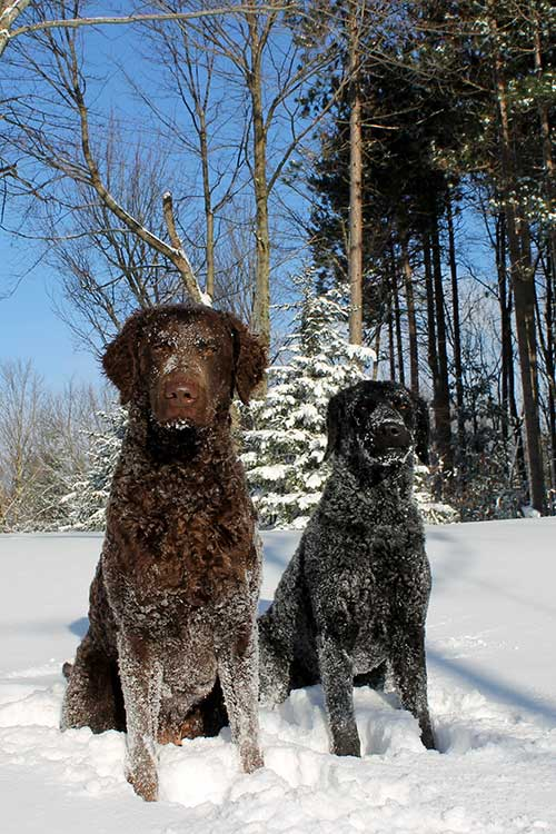 Two Curly Coated Retrievers sitting in the snow.