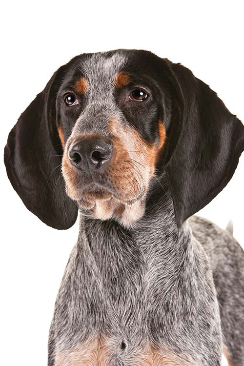 Bluetick Coonhound head and shoulders.