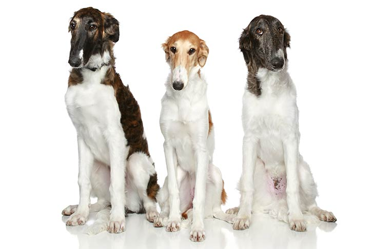 Three Borzoi puppies