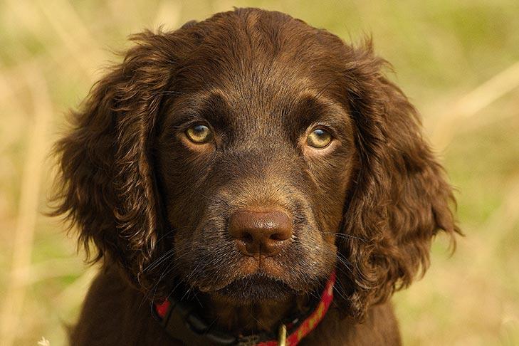 Boykin Spaniel Puppies For Sale Akc Puppyfinder