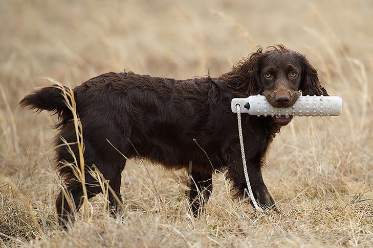 Boykin Spaniel Dog Breed Information