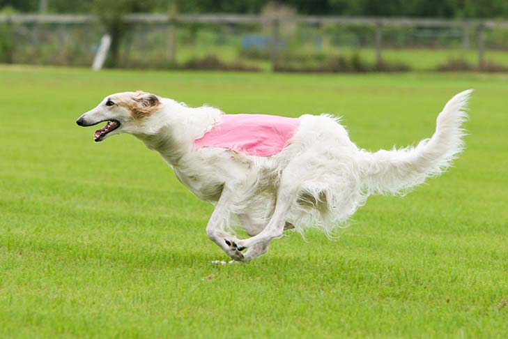 Lure Coursing Borzoi
