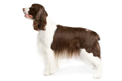 English Springer Spaniel Pictures - American Kennel Club