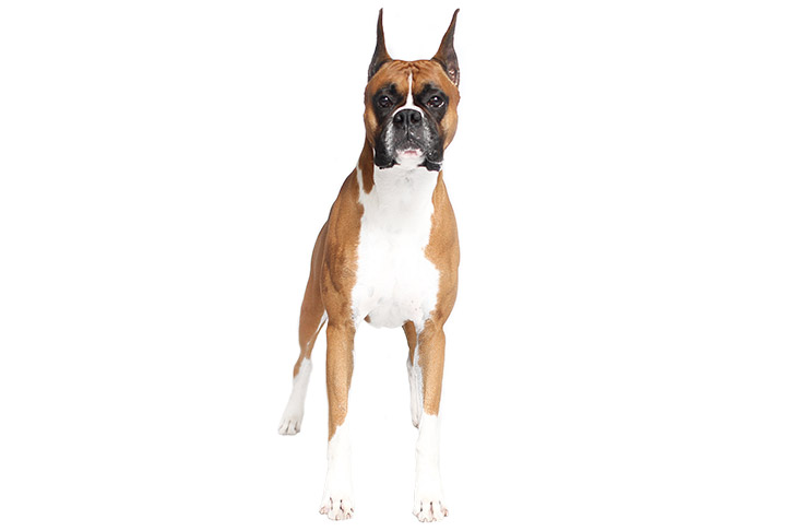 Boxer standing facing forward.