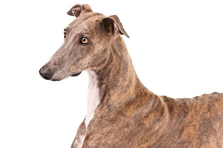 Greyhound head and shoulders facing left.