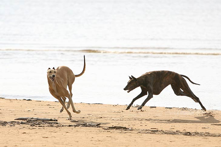 Greyhounds running on the beach.