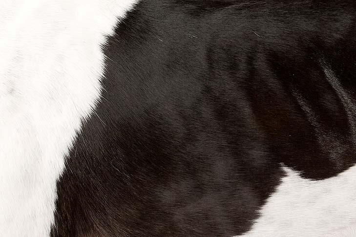 Greyhound coat detail.