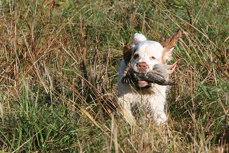 Clumber Spaniel running in a grassy field with a bird in its mouth.
