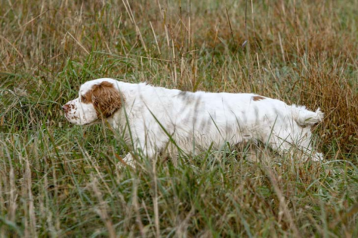 Clumber Spaniel walking through the tall grasses in a field.