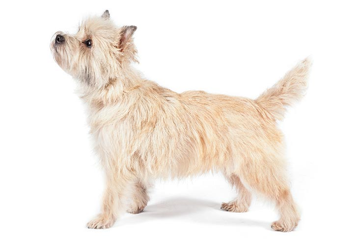 Cách chăm sóc chó Cairn Terrier, và các bệnh thường gặp - Răng miệng