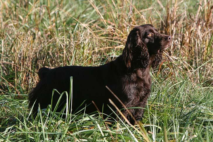Boykin Spaniel standing in a field of tall grasses.