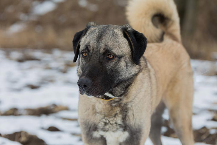 Anatolian Shepherd standing outdoors in the winter.