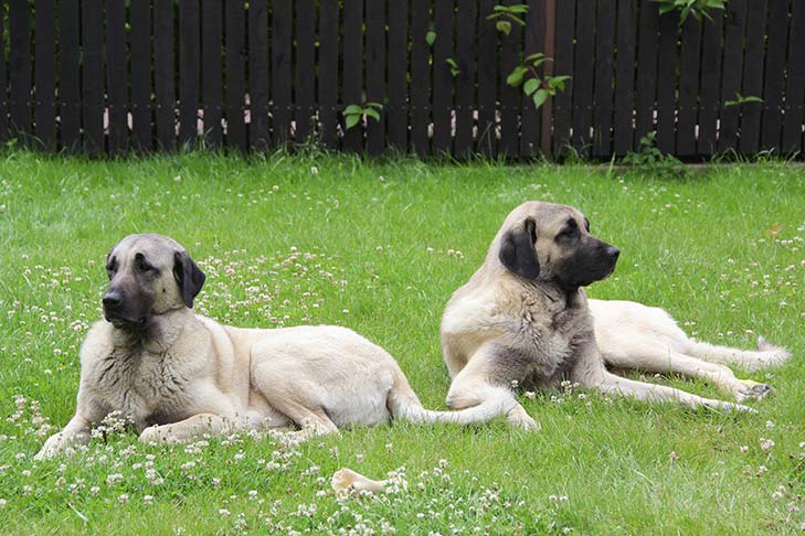 Two Anatolian Shepherds lying outdoors in the grass.