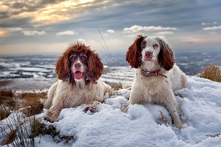 Two French Spaniels laying together in the snow.