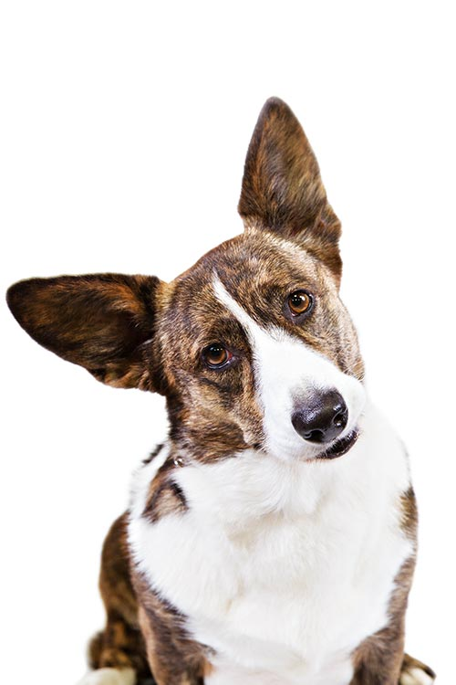 Cardigan Welsh Corgi head titled.