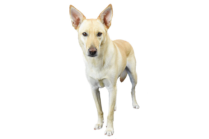 Carolina Dog standing facing forward.