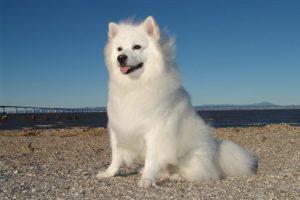 American Eskimo Dog sitting outdoors.