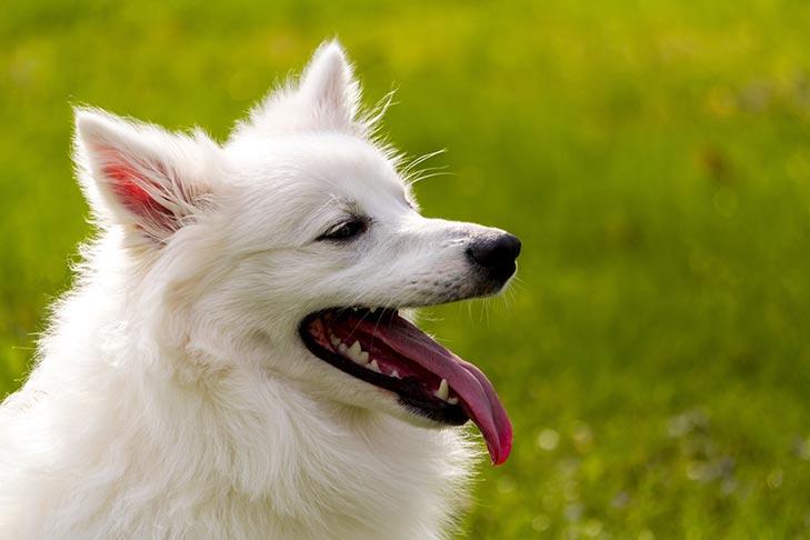American Eskimo Dog head in profile outdoors.