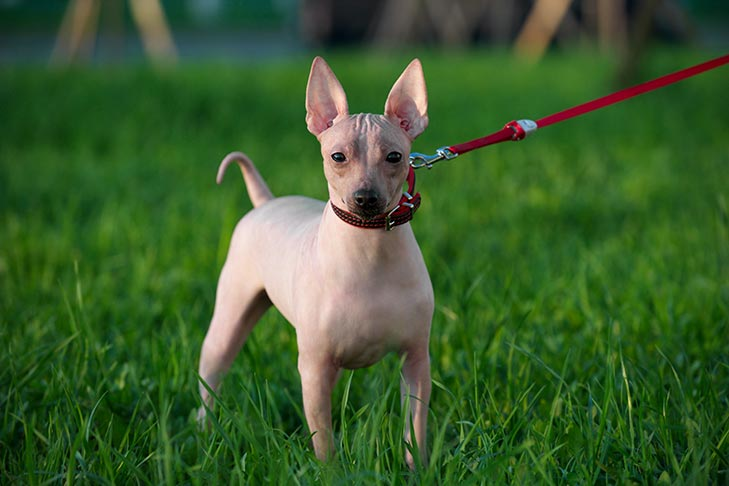 American Hairless Terrier on a leash standing in the grass.