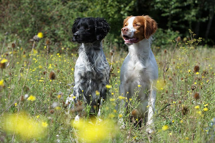 Two Brittany dogs sitting together in field surrounded by tall yellow wildflowers