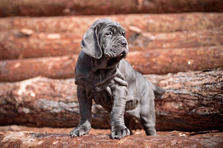 Neapolitan Mastiff Puppies For Sale Akc Puppyfinder