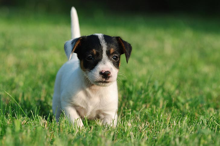 Russell Terrier Dog Breed Information