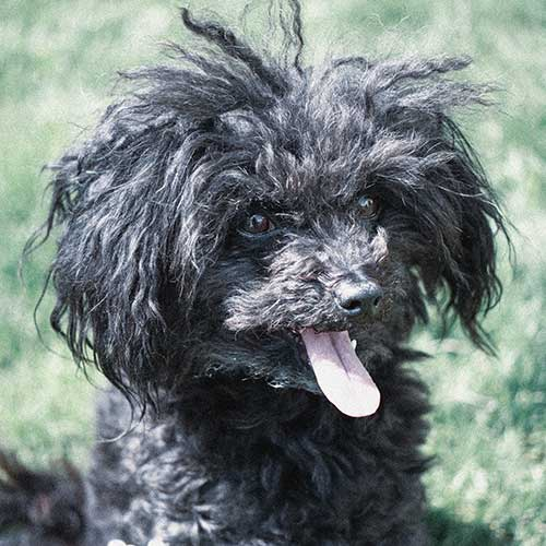 Russian Tsvetnaya Bolonka Dog Breed Information - American Kennel Club