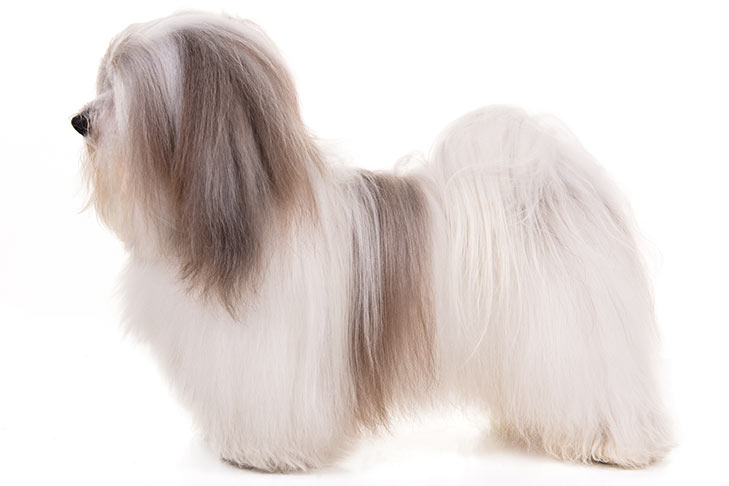 Havanese standing sideways facing left.