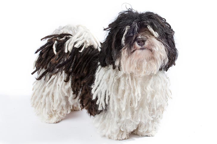 Havanese with a corded coat.