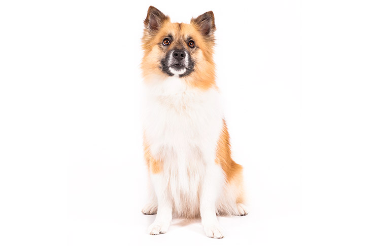 Icelandic Sheepdog sitting facing forward.