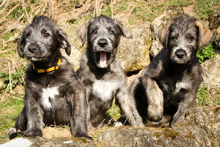 Irish Wolfhound puppies sitting side by side outdoors.