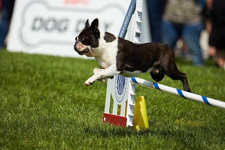 Boston Terrier leaping over an agility jump.