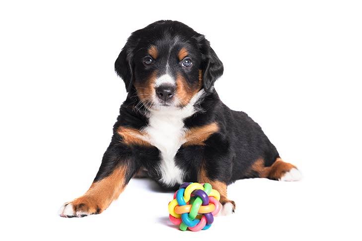 Appenzeller Sennenhund Dog Breed Information American Kennel Club