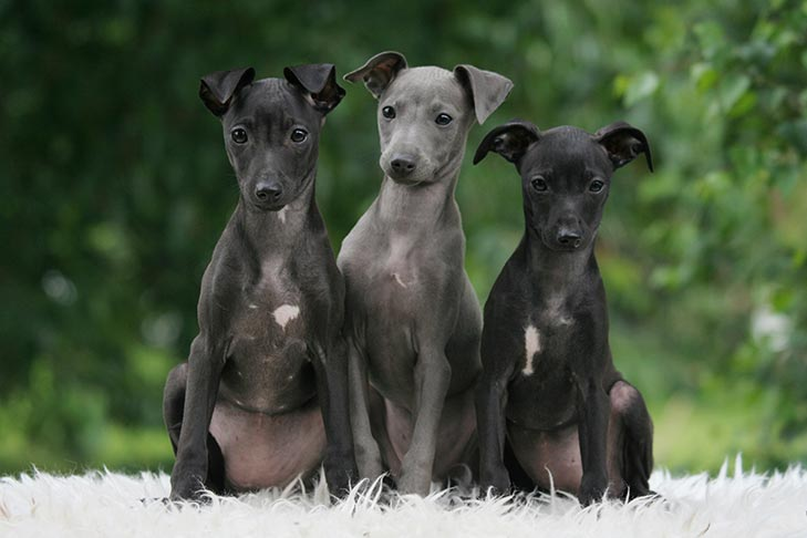Italian Greyhound Puppies For Sale Akc Puppyfinder