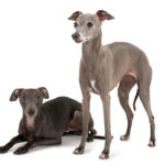 Two Italian Greyhounds, one standing and one laying down.