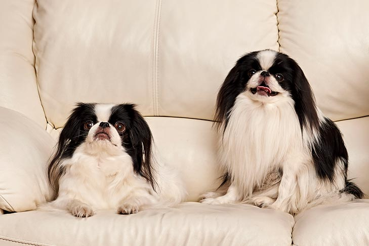 Two Japanese Chins on the couch.