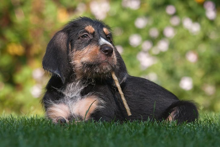 Otterhound puppy laying in the grass with a treat.